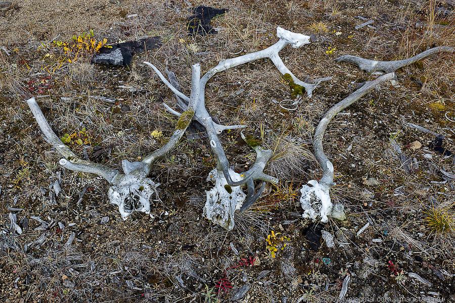черепа северных оленей